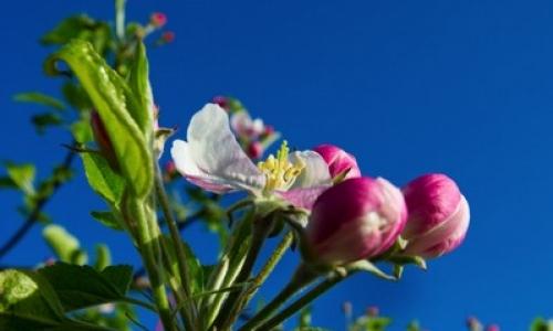 Flor naciente de manzanos